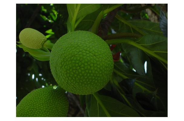 Foodista | Recipes, Cooking Tips, and Food News | Breadfruit